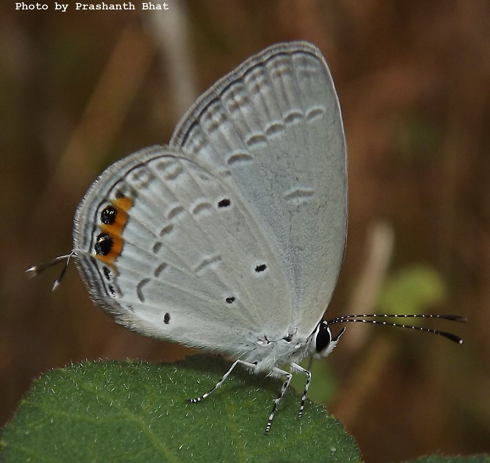 Butterflies<br> Lycaenidae( The Blues )<br> » Subfamily