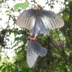 Common Batwing -- Atrophaneura varuna astorian Westwood, 1842