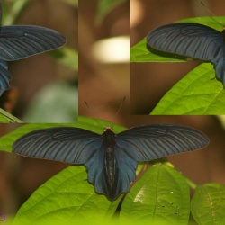 Lesser Batwing -- Atrophaneura aidoneus Doubleday, 1845