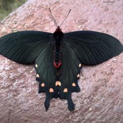 Subfamily Papilioninae ( The Swallowtails ) <br>&nbsp;&nbsp;&nbsp; Genus Byasa