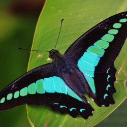 Subfamily Papilioninae ( The Swallowtails ) <br>&nbsp;&nbsp;&nbsp; Genus Graphium ( Blue Bottles )