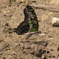 Subfamily Papilioninae ( The Swallowtails ) <br>&nbsp;&nbsp;&nbsp; Genus Graphium ( Jays )