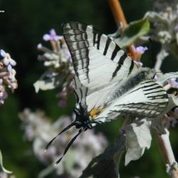 Subfamily Papilioninae ( The Swallowtails ) <br>&nbsp;&nbsp;&nbsp; Genus Graphium ( Swordtails )