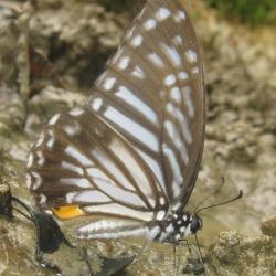 Great Zebra -- Graphium xenocles Doubleday, 1842