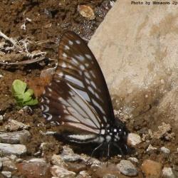 Lesser Zebra -- Graphium macareus Godart, 1819