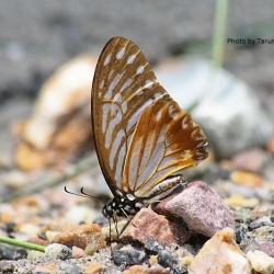Subfamily Papilioninae ( The Swallowtails ) <br>&nbsp;&nbsp;&nbsp; Genus Graphium ( Zebras )