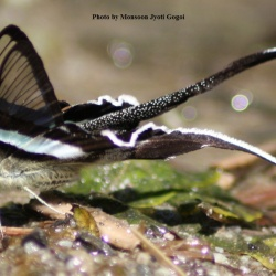 Subfamily Papilioninae ( The Swallowtails ) <br>&nbsp;&nbsp;&nbsp; Genus Lamproptera ( Dragontails )