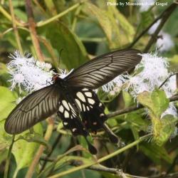 Common Clubtail -- Losoria coon cacharensis Fabricius, 1793
