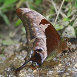 Subfamily Papilioninae ( The Swallowtails ) <br>&nbsp;&nbsp;&nbsp; Genus Meandrusa ( Gorgons )
