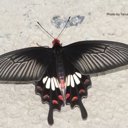 Subfamily Papilioninae ( The Swallowtails ) <br>&nbsp;&nbsp;&nbsp; Genus Pachliopta ( Roses )