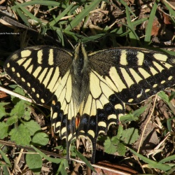 Subfamily Papilioninae ( The Swallowtails ) <br>&nbsp;&nbsp;&nbsp; Genus Papilio ( Banded and Yellow Swallowtail )