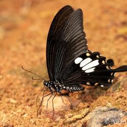 Subfamily Papilioninae ( The Swallowtails ) <br>&nbsp;&nbsp;&nbsp; Genus Papilio ( Helens )
