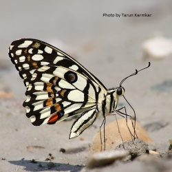 Subfamily Papilioninae ( The Swallowtails ) <br>&nbsp;&nbsp;&nbsp; Genus Papilio ( Lime Butterfly )