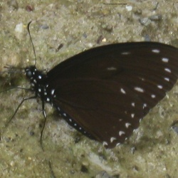Great Blue Mime -- Papilio paradoxa telearchus Hewitson, 1852