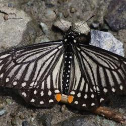 Lesser Mime -- Papilio epycides epycides Hewitson, 1862