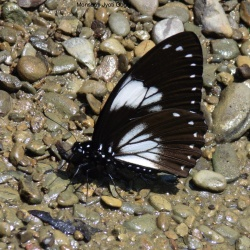 Papilio paradoxa Zincken, 1831 - Great Blue Mime