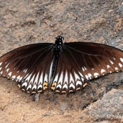 Subfamily Papilioninae ( The Swallowtails ) <br>&nbsp;&nbsp;&nbsp; Genus Papilio ( Mimes )