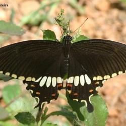 Butterflies <br>&nbsp;&nbsp;&nbsp; Papilionidae ( Swallowtails )<br>