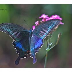 Subfamily Papilioninae ( The Swallowtails ) <br>&nbsp;&nbsp;&nbsp; Genus Papilio ( Peacoks )