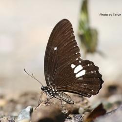 Subfamily Papilioninae ( The Swallowtails ) <br>&nbsp;&nbsp;&nbsp; Genus Papilio ( Ravens )