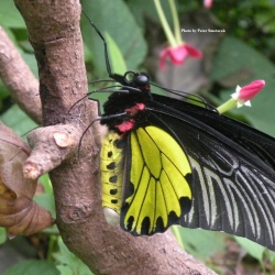 Golden Birdwing - Troides aeacus with Pupal case