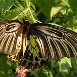 Golden Birdwing - Troides aeacus (Female)