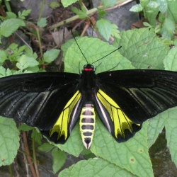 Golden Birdwing - Troides aeacus (Male)