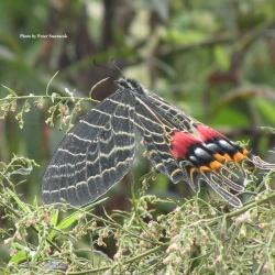 Subfamily Parnassiinae ( The Apollos ) <br>&nbsp;&nbsp;&nbsp; Genus Bhutanitis  ( Bhutan Glory )