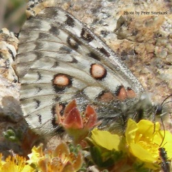 Common Red Apollo - Parnassius epaphus