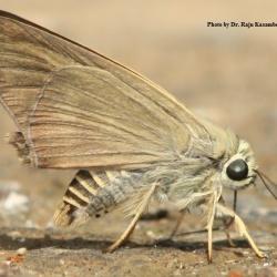Subfamily Coeliadinae  <br>&nbsp;&nbsp;&nbsp; Genus Badamia ( Brown Awl )