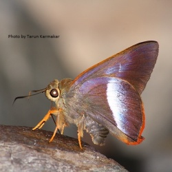 Subfamily Coeliadinae  <br>&nbsp;&nbsp;&nbsp; Genus Bibasis ( Diurnal Awlets )
