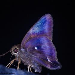 Subfamily Coeliadinae  <br>&nbsp;&nbsp;&nbsp; Genus Burara ( Crepuscular Awlets )