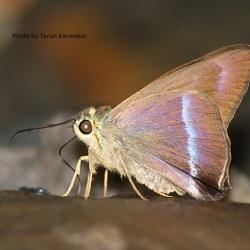 Subfamily Coeliadinae  <br>&nbsp;&nbsp;&nbsp; Genus Hasora ( Awls )