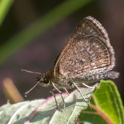 Subfamily Hesperiinae  <br>&nbsp;&nbsp;&nbsp; Genus Aeromachus ( Scrub Hoppers )