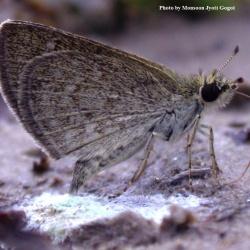Butterflies<br>&nbsp;&nbsp;&nbsp;Hesperiidae( The Skippers )<br>
