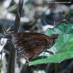 Subfamily Hesperiinae  <br>&nbsp;&nbsp;&nbsp; Genus Apostictopterus ( Forest Hopper )