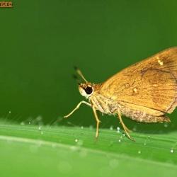 Subfamily Hesperiinae  <br>&nbsp;&nbsp;&nbsp; Genus Arnetta ( Bobs )