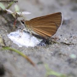 Subfamily Hesperiinae  <br>&nbsp;&nbsp;&nbsp; Genus Asticopterus, Baracus (Hedge-Hopper )