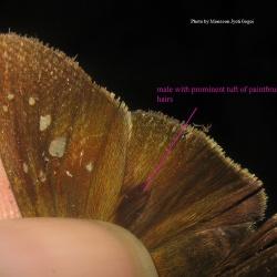 Paintbrush Swift - Baoris farri