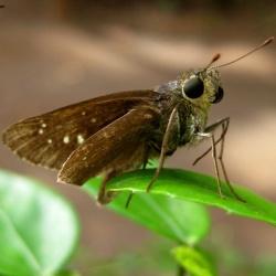 Subfamily Hesperiinae  <br>&nbsp;&nbsp;&nbsp; Genus Borbo ( Swift )