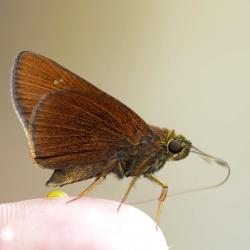 Subfamily Hesperiinae  <br>&nbsp;&nbsp;&nbsp; Genus Caltoris ( Swift )