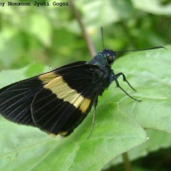 Subfamily Hesperiinae  <br>&nbsp;&nbsp;&nbsp; Genus Creteus, Lotongus, Pirdana, Unkana ( Palmer )