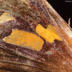 Subfamily Hesperiinae  <br>&nbsp;&nbsp;&nbsp; Genus Erionota ( Palm Redeye )