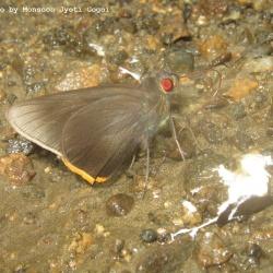 Subfamily Hesperiinae  <br>&nbsp;&nbsp;&nbsp; Genus Gangara, Matapa, Pudicitia ( Redeye )