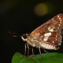 Subfamily Hesperiinae  <br>&nbsp;&nbsp;&nbsp; Genus Halpe ( Banded Ace )