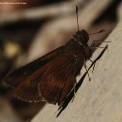 Subfamily Hesperiinae  <br>&nbsp;&nbsp;&nbsp; Genus Hyarotis , Quedara ( Flitter )