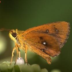 Subfamily Hesperiinae  <br>&nbsp;&nbsp;&nbsp; Genus Iambrix ( Chestnut Bob )