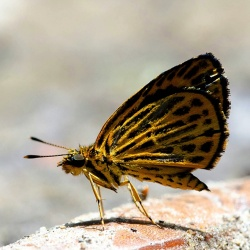 Subfamily Hesperiinae  <br>&nbsp;&nbsp;&nbsp; Genus Ochus ( Tiger Hopper )