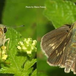 Subfamily Hesperiinae  <br>&nbsp;&nbsp;&nbsp; Genus Parnara ( Swift )