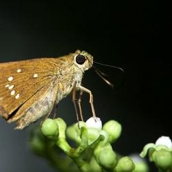 Subfamily Hesperiinae  <br>&nbsp;&nbsp;&nbsp; Genus Pelopidas ( Swift )